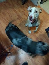 2 dogs- Catahoula and pit bull in Beaufort, South Carolina