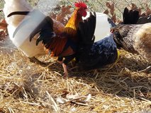 2 bantam roosters in Fort Leonard Wood, Missouri