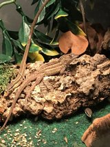 Anole and long tail lizards in Bolingbrook, Illinois