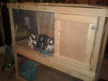 3 Mini Rex Rabbits & Hutch in Elizabethtown, Kentucky