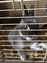 Nigerian Dwarf rabbit (buck) & Cage in Fort Leonard Wood, Missouri