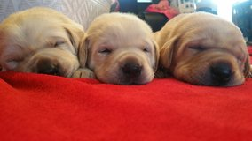 AKC Registered Lab Puppies in Fort Lewis, Washington