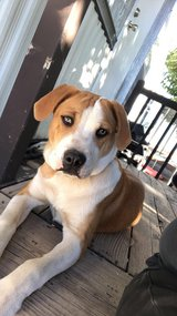 8 month old puppy in Alamogordo, New Mexico
