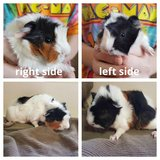 Guinea Pig Baby FEMALE in Sandwich, Illinois