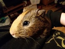 3-5 month old male guinea pig in Ramstein, Germany