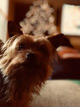 Yorkie free to good home in Fairfield, California