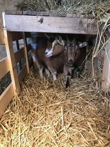 2 female Nigerian Pygmy goats in Bolingbrook, Illinois