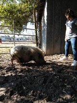 pot bellied pig in Lake Charles, Louisiana