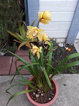Orchid plant in Fairfield, California