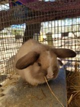 holland .lops and lionhead buck in Tampa, Florida