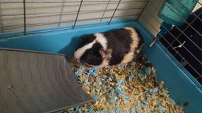 Guinea Pig with cage in Camp Pendleton, California