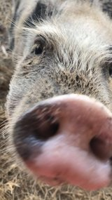Female Mini Pig 2 yrs old in Bellaire, Texas