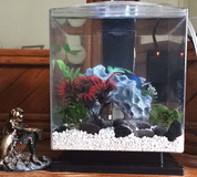 Blue crowntail betta fish -  price negotiable in Oceanside, California