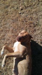 Red nose pit in Lawton, Oklahoma