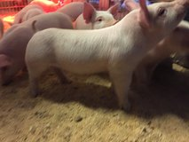 York and duroc cross pigs 1 month old in Alexandria, Louisiana
