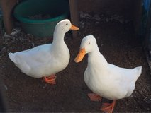 two male ducks need a new home asap in Morris, Illinois