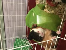 2 friendly and adorable guinea pigs in Quantico, Virginia