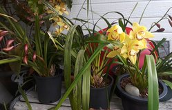 Orchid plants in Fairfield, California