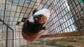 3 guinea pigs with cage in Coldspring, Texas