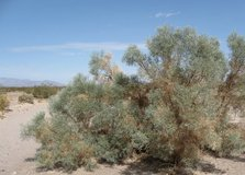 *WANTED* smoke tree brush removed from your yard in 29 Palms, California