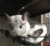 Chinchillas in Hohenfels, Germany