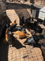 serama roosters in Vista, California