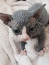 ~Sphynx Kitten to go --Text Only (804)251-0538 in Tacoma, Washington