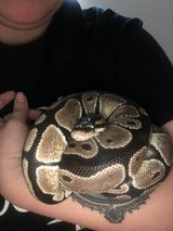 Ball Python in Fort Hood, Texas