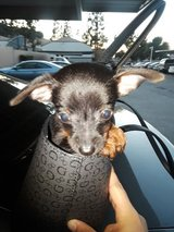 Chihuahua named Buddah in San Bernardino, California