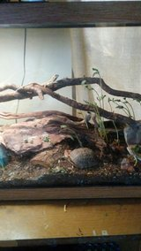 young bearded dragons in Alamogordo, New Mexico