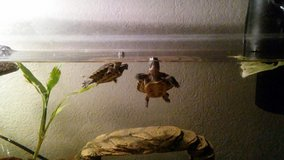 2 red eared sliders in Alamogordo, New Mexico