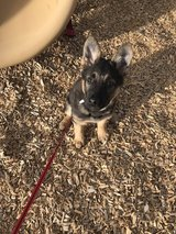 German Shepherd puppy female in Fort Carson, Colorado