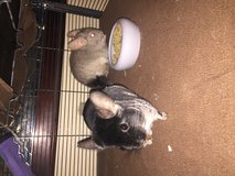 2 Chinchillas and critter nation cage in Hinesville, Georgia