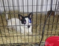 Rat terrier mix male in Conroe, Texas