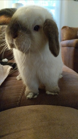 9 Month Old Holland Lop Bunny in Macon, Georgia