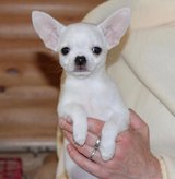 lovely Chihuahua puppies ready to go in Bartlett, Illinois