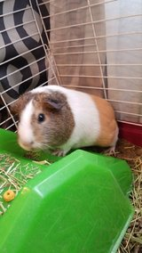 Guinea pig- female in Liberty, Texas