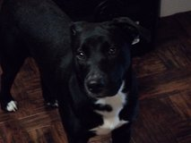 missing female black lab. Please return her to us. She is dearly missed. in Fort Polk, Louisiana