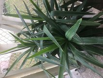 Yucca plant in Okinawa, Japan