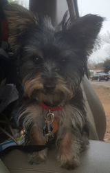 Yorkshire Terrier Puppy in San Antonio, Texas