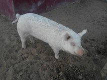 Yorkshire Pig in Yucca Valley, California