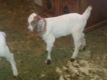 Goats for sale in Yucca Valley, California