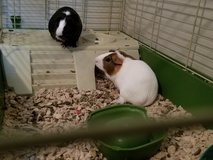 Guinea pigs in Warner Robins, Georgia
