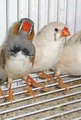 Zebra finch in Camp Pendleton, California
