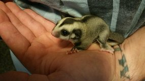 Sugar Gliders in Fort Campbell, Kentucky