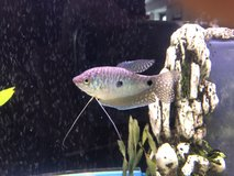 Blue Gourami in Chicago, Illinois