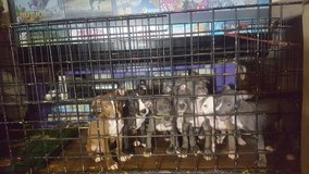 Pitbull Puppied For Sale in Barstow, California