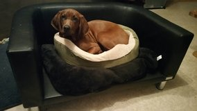 Playmate wanted for 6 month old Redbone Coonhound. in Stuttgart, GE