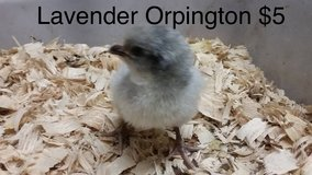 1 lavender Orpington chick and 1 Lavender Ameraucauna chick available in Fort Polk, Louisiana
