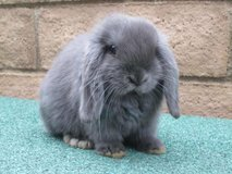 ISO HOLLAND LOP DOE/PAIR in Lawton, Oklahoma